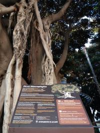 Placa informativa de un ficus monumental